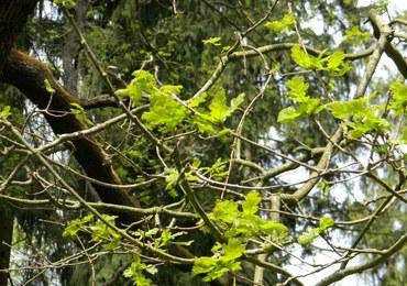 Podpalony Dąb Chrobry. Leśnicy zapowiadają walkę do ostatniego liścia