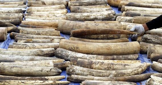 Ponad tonę skonfiskowanych wyrobów z kości słoniowej, a także całych kłów, publicznie zniszczono na nowojorskim Times Square. To w ramach akcji, demonstrującej brak tolerancji dla kłusownictwa.