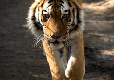 Tragedia w zoo. Tygrys odgryzł dziecku rękę