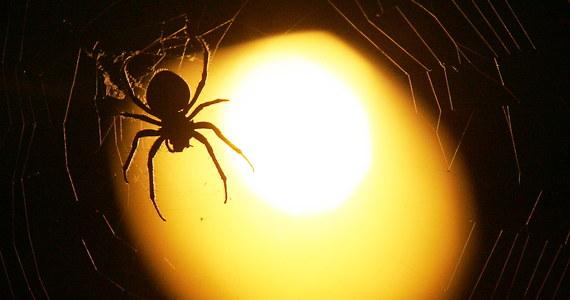 Wielkiego pająka znaleziono w jednym z supermarketów w Mszanie Dolnej w Małopolsce. Na szczęście nie trzeba było ewakuować sklepu. Informację o tym nietypowym znalezisku dostaliśmy od słuchacza na Gorącą Linię RMF FM.
