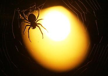 Wielki pająk znaleziony w supermarkecie