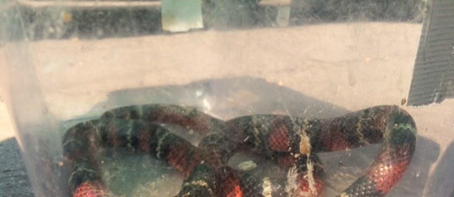 Egzotyczny wąż grasował na jednym z wrocławskich osiedli. Na trawniku przy ulicy Leopolda Tyrmanda zauważyli go mieszkańcy. Jego zdjęcie przesłali nam na Gorącą Linię RMF FM.