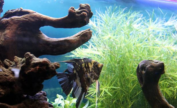 Belgijskie władze ostrzegają przed sztucznie barwionymi rybkami akwariowymi. Ich sprzedaż jest nielegalna na terenie Unii Europejskiej, a mimo to handel nimi jest bardzo popularny. Można je dostać także w Polsce.