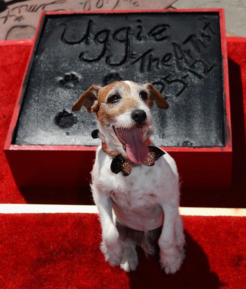 """Uggie, brązowy Jack Russell terrier, pierwszy pies, który pojawił się na gali rozdania Oscarów, nie żyje. Sławę przyniosła mu rola w filmie """"Artysta"""" z 2011 roku. Pies dożył 13 lat, chorował na raka prostaty."""