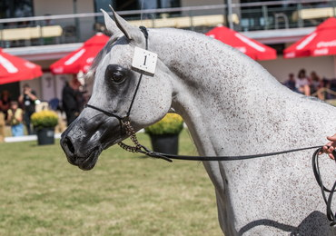 Oto najdroższy koń w historii Polski