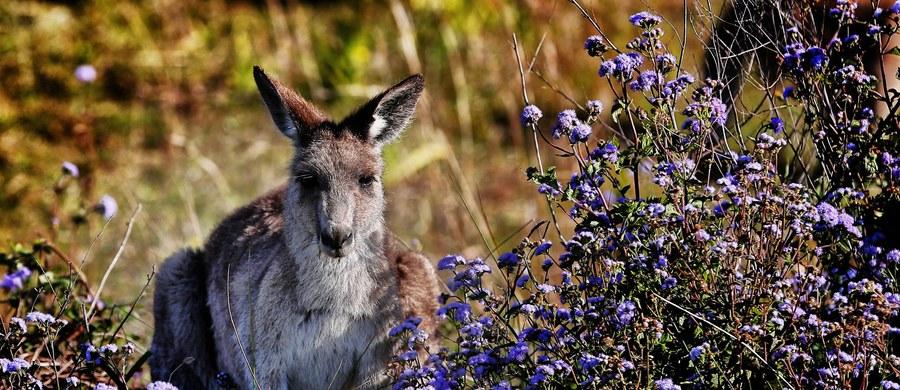 Wybieracie się samochodem do Paryża? Uważajcie na... kangury na drogach – apeluje francuska policja. To nie żart - zwierzęta te powodują coraz więcej kolizji i wypadków w okolicy podparyskiego lasu Rambouillet.