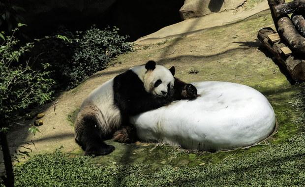 Jedna z dwóch pand, która w weekend przyszła na świat w waszyngtońskim zoo, zmarła wczoraj po południu. Maluch miał kłopoty z oddychaniem - poinformowało zoo.
