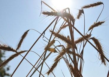Susza pustoszy uprawne pola. Wielomilionowe straty rolników
