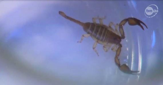 Po wyjęciu bananów z siatki z zakupami, wyleciał z niej jakiś robaczek, myśleliśmy, że to pająk, ale okazało się, że to skorpion - powiedział Jerzy Antczak, znalazca skorpiona.