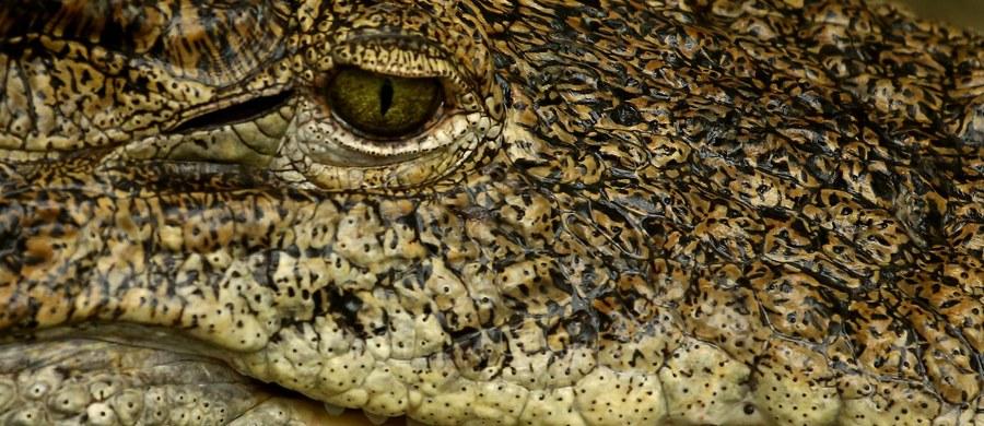 Szokujące ustalenia włoskiej policji. Okazuje się, że klan neapolitańskiej mafii z okolic miasta Caserta straszył ofiary wymuszeń żywym krokodylem.