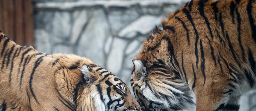 Na dziś zaplanowano sekcję zwłok mężczyzny, który został zaatakowany przez tygrysa we wrocławskim zoo. 58-latek zmarł na miejscu. Śledztwo w tej sprawie prowadzi prokuratura we Wrocławiu.