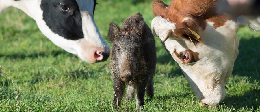 Ponieważ mały dzik najprawdopodobniej stracił matkę, stado krów z niemieckiego Göttingen przyjęło go do swojego grona. Krowy nie tylko zaakceptowały przybysza, ale też się nim opiekują.