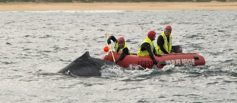Służby ratunkowe ruszyły do akcji uwolnienie wieloryba, który zaplątał się w sieci rybackie u wybrzeża Australii. Młody humbak samodzielnie nie potrafił się uwolnić z długiej na 150 metrów sieci, która oplotła jego płetwy, pysk i ogon.