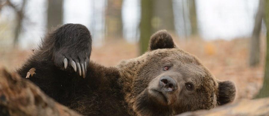 Żyjące w Bieszczadach gady i nietoperze po pierwszych tegorocznych przymrozkach już zapadły w zimowy sen. Z kolei na zimowanie ze Skandynawii przyleciały tam m.in. myszołowy włochate, czeczotki, gile i jery. Nadal aktywne są niedźwiedzie.