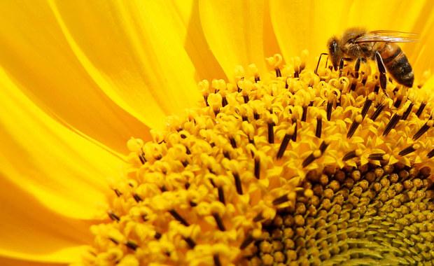 W dniach dyskusji na temat walki z terroryzmem włoscy naukowcy przypomnieli, że pomocne w niej mogą być pszczoły - a to dzięki ich niezawodnemu węchowi. Odpowiednio wyszkolone potrafią stwierdzić obecność materiałów wybuchowych, a co za tym idzie: zapobiec zamachom.