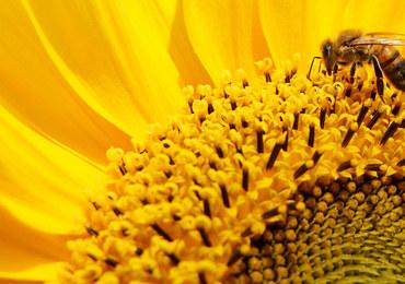 Pszczoły mogą pomóc w walce z terrorystami. Mają niezawodny węch