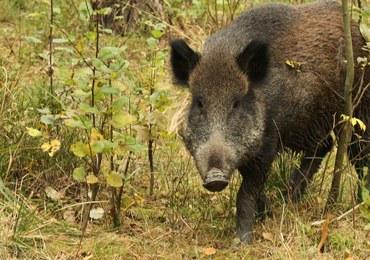 Rosja oskarża Polskę o ukrywanie przypadków afrykańskiego pomoru świń