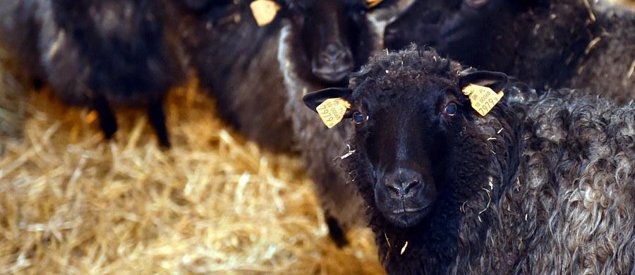 Dzięki wieloletniej współpracy naukowców z Francji, Polski i Włoch udało się przekształcić jądro pobranej od owcy komórki – fibroblastu – w plemnik w ciągu zaledwie 48 godzin - poinformowała prof. Grażyna Ptak z Krakowa.