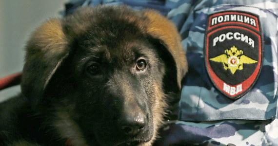 Rosja przekazała Francuzom szczeniaka w ramach solidarności, po tym jak pies policyjny Diesel zginął w trakcie szturmu na siedzibę paryskich zamachowców. Wilczur o imieniu Dobrynia wyruszy na dniach z Moskwy do Francji.