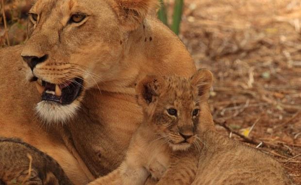 Kenijskie władze aresztowały trzech masajskich pasterzy pod zarzutem zatrucia w słynnym rezerwacie Masai Mara stada lwów, z których dwa padły. Lwy, które pasterze podejrzewali o zagryzienie ich krów, występowały w słynnej serii BBC o wielkich kotach.