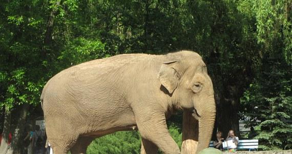 """""""Gwiazda"""" łódzkiego Ogrodu Zoologicznego słonica Magda nie żyje. Jej stan zdrowia regularnie pogarszał się od 2014 roku. Zwierzę przeżyło 54 lata. Zarówno opiekunowie, jak i weterynarze przez blisko dwa lata starali się lekami poprawić samopoczucie Magdy oraz złagodzić ból towarzyszący chorobie."""