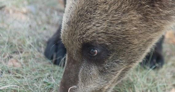 Tropy co najmniej kilkunastu niedźwiedzi zauważyli w ostatnich dniach leśnicy i turyści w Bieszczadach. Wędrujące i bawiące się misie zarejestrowało także kilka fotopułapek.