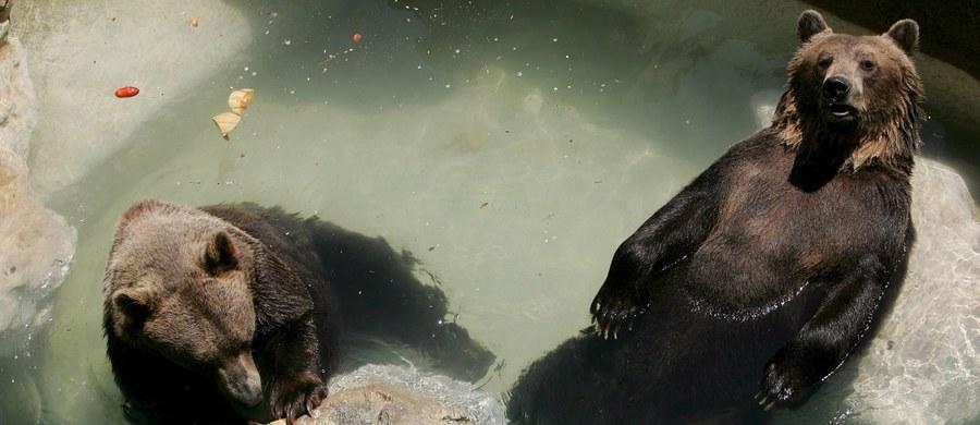 """Włoscy obrońcy zwierząt mobilizują się na rzecz """"misia- komunisty"""" z Toskanii. Tak nazywany jest 38-letni niedźwiedź Bruno, którego Włochom podarowało niegdyś ZOO z dawnego ZSRR. Ogród zoologiczny, gdzie mieszka, jest likwidowany, a on jest za stary na przenosiny."""
