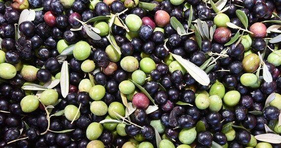W zeszłym roku czterokrotnie wzrosła we Włoszech liczba oszustw, których ofiarą padła krajowa, najwyższej jakości oliwa z oliwek - alarmuje rolniczy związek Coldiretti. Najbardziej narażeni na oszustwa są jednak miłośnicy tego produktu na świecie.