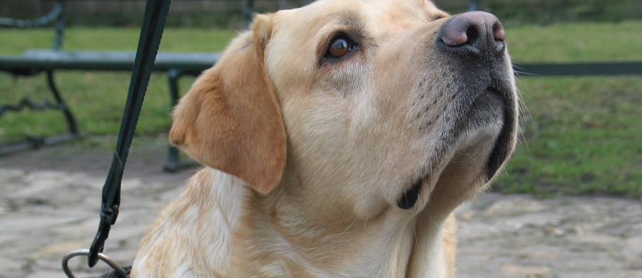 Helsińska Fundacja Praw Człowieka będzie interweniować w sprawie niewidomych osób podróżujących nocnymi pociągami. Korzystający z pomocy psa-przewodnika, którzy chcą skorzystać z kuszetki muszą wykupić miejsca w całym przedziale. Czyli zapłacić dodatkowo kilkaset złotych za sześć biletów.