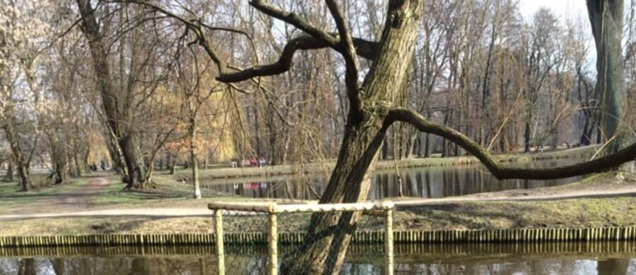"""Mazowiecki Pruszków znów broni się przed.... bobrami! Gryzonie poczuły wiosnę i po raz kolejny dały o sobie znać. Po kilku miesiącach przerwy drzewa w pruszkowskim Parku Potulickich znów zostały nadgryzione. Ekolodzy alarmują: to może mieć poważne skutki. Drzewostany mogą zostać powalone. Niewykluczone są też podtopienia z powodu nagromadzenia wody. """"Cieszymy się, że jest tu dzika zwierzyna. Widzimy, że drewniane zabezpieczenia drzew przed bobrami są raczej skuteczne, bo te osłonięte nie są nadgryzione"""" - mówią naszemu reporterowi mieszkańcy Pruszkowa, których spotkaliśmy w Parku Potulickich."""