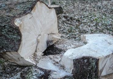 Wycinka drzew w Puszczy Białowieskiej zatwierdzona. Ekolodzy: To czarny piątek dla polskiej przyrody