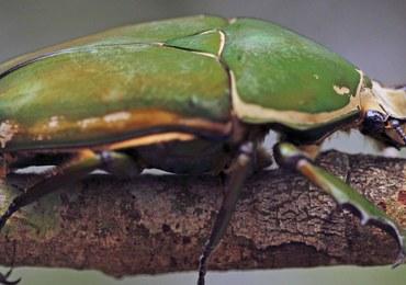 Zdalnie sterowane chrząszcze, czyli organiczne drony przyszłości