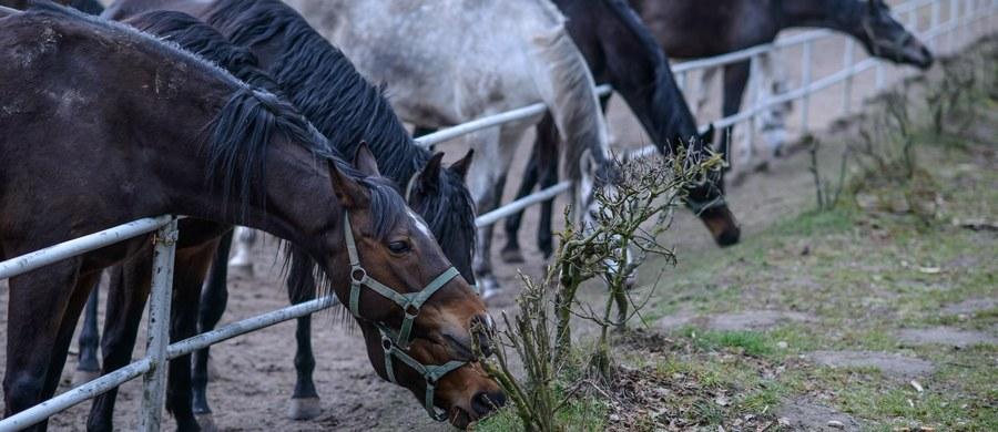 """W paszy podawanej koniom w Janowie znaleziono antybiotyki używane w przemysłowej hodowli drobiu – pisze """"Rzeczpospolita"""". Są dla koni śmiertelne."""