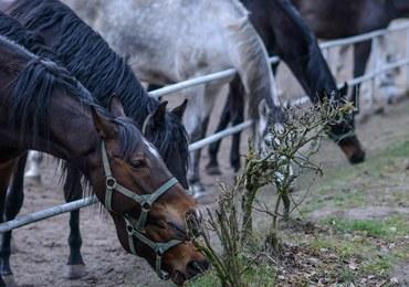 """""""Rzeczpospolita"""": W paszy podawanej koniom w Janowie były antybiotyki śmiertelne dla koni"""