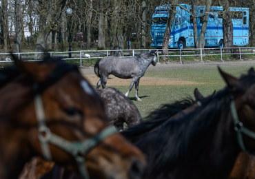 Hodowcy: Zmiany w stadninach godzą w podstawy polskiej hodowli koni arabskich
