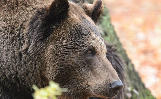 W mieście Wysokie Tatry na Słowacji zwołano sztab kryzysowy i ogłoszono sytuację nadzwyczajną. Niedźwiedzie zatraciły swój naturalny strach przed ludźmi i w ciągu dnia grasują w okolicach kontenerów ze śmieciami  i próbują dostać się do wnętrz budynków – alarmują służby leśne.