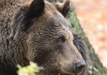 Stan wyjątkowy w słowackim mieście Wysokie Tatry. Rozrabiają tam niedźwiedzie!