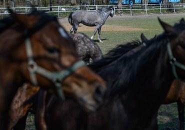 Jest konkurs na nowego prezesa stadniny koni w Janowie Podlaskim