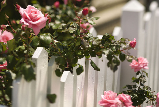 Spryskaj nim róże. Szkodniki znikną raz na zawsze