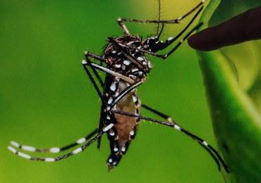 """Zika zagraża Europie? Eksperci ostrzegają: Liczba zakażeń wirusem może wzrosnąć """"w znaczący sposób"""""""