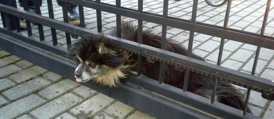 Szczęśliwie skończyła się historia małego psa, który utknął głową w ogrodzeniu jednej z posesji w Rymanowie na Podkarpaciu. Przestraszonego zwierzaka szybko uwolnili strażacy. Zdjęcia z tej nietypowej akcji publikujemy dzięki uprzejmości serwisu krosno112.pl.