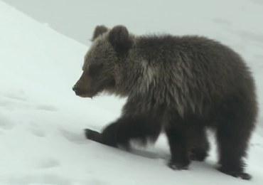 Nie żyje niedźwiadek z Kasprowego Wierchu. TPN: Zdecydowało wiele czynników