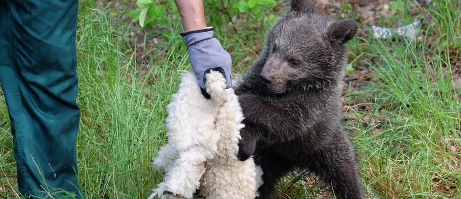 Ma zaledwie trzy miesiące, ale jest już prawdziwą gwiazdą! Mała niedźwiedzica Cisna - znaleziona i uratowana w Bieszczadach - stała się ulubienicą odwiedzających poznańskie zoo. Zobaczcie najnowszy film z Cisną w roli głównej!
