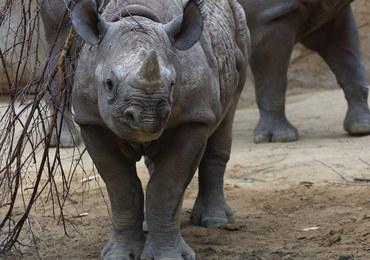 Zagrożony wyginięciem nosorożec urodzi się jesienią w zoo