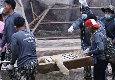Mnisi nielegalnie przetrzymywali 137 tygrysów
