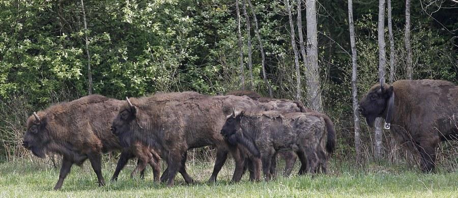 """Cielne żubrzyce, które na przełomie wiosny i lata wydadzą potomstwo, opuszczają już śródleśne łąki w Bieszczadach. """"Tego roku w leśnych zaroślach na świat może przyjść nawet 50 cieląt"""" - powiedział PAP rzecznik Lasów Państwowych w Krośnie Edward Marszałek."""