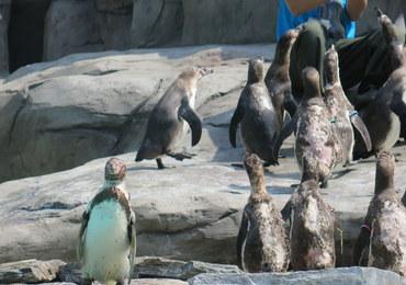 W krakowskim zoo zamieszkały pingwiny Humboldta