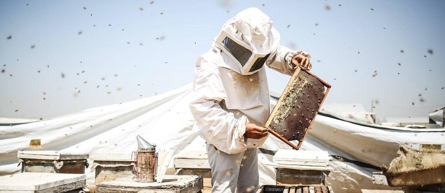 Pszczelarze spod Słupska na Pomorzu liczą straty przez... Euro 2016. Po starciu reprezentacji Polski z Irlandią Północną w okolicy Dębnicy Kaszubskiej padły wszystkie pszczoły. Winien jest rolnik, który bardzo chciał obejrzeć spotkanie.