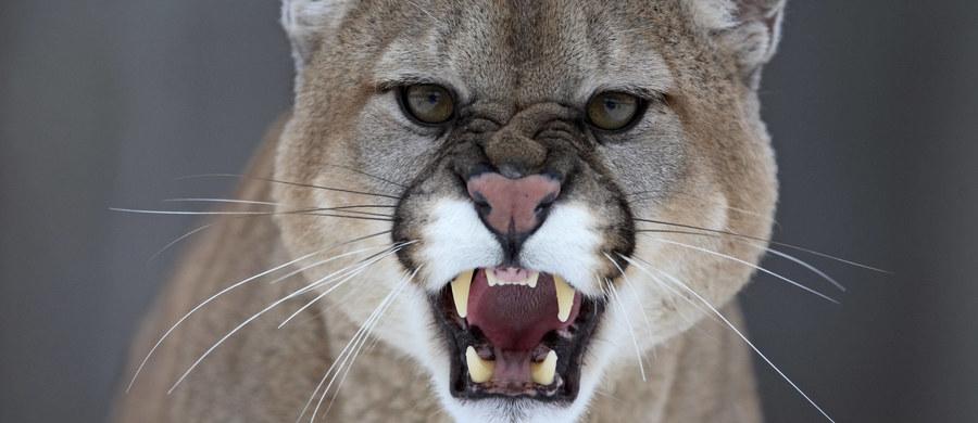 Mieszkanka stanu Kolorado nie straciła zimnej krwi, gdy zobaczyła swojego 5-letniego synka zaatakowanego przez pumę. Jego głowa znajdowała się w paszczy drapieżnika. Kobiecie udało się rozluźnić uścisk zwierzęcia i wyciągnąć dziecko. Puma uciekła.