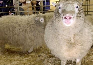 20 lat temu przyszła na świat owieczka Dolly. To pierwszy ssak, sklonowany z komórek somatycznych